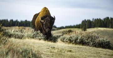 Bison roaming Custer State Park